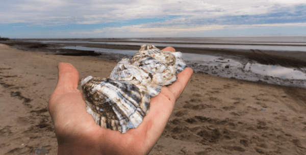 Cape Mat Salt Oysters held in a farmers palm while on the oyster farm