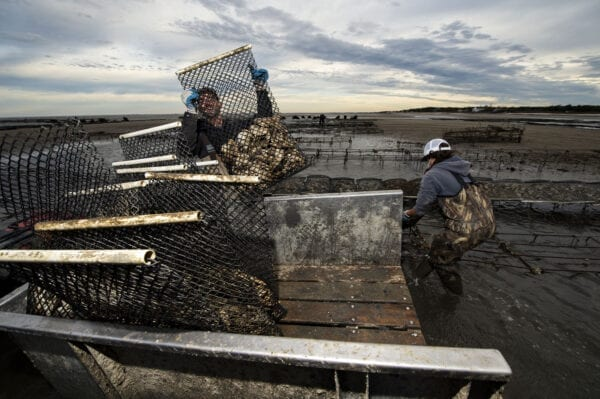 Farmers load bags of oysters into a trailer on the Cape May Salt Oysters farm.